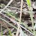 Small photo of Calango-verde (Ameiva ameiva)