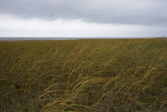 marshgrass