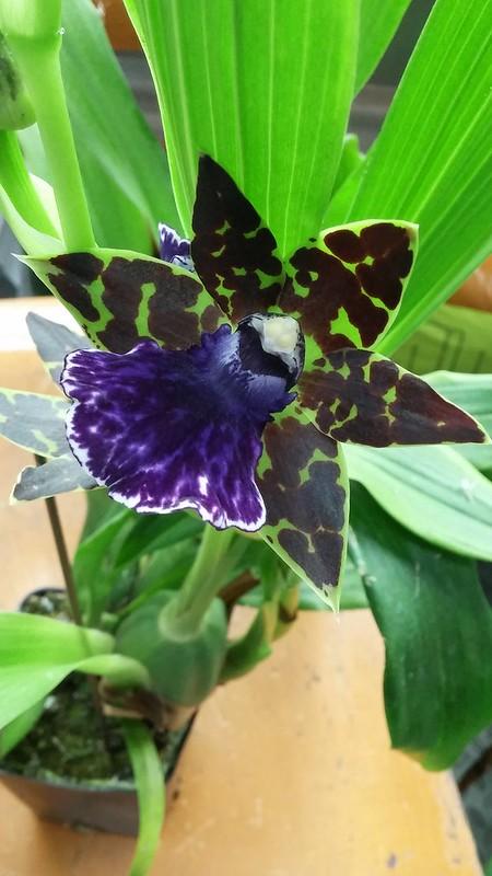 Les orchidées chez Sougriwa - Page 2 24898855208_b423047e6f_c
