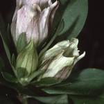 Gentiana villosa