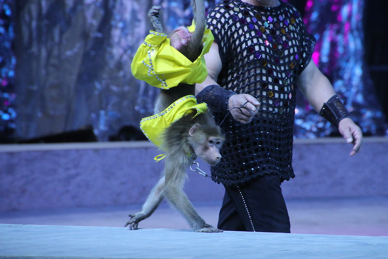 A macaque is forced to walk on its hands, Xiamen Lingling Circus, China