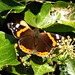Red Admiral (in Winter !)