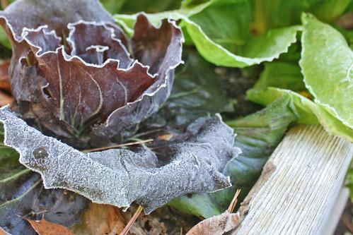 frost on radicchio IMG_7179