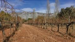 Le vignoble de la montagne Sainte Victoire