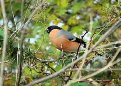 HolderBullfinch - Pyrrhula pyrrhula