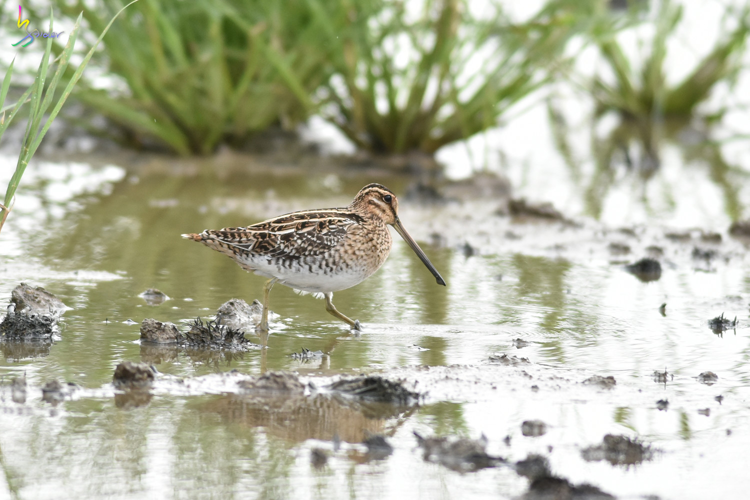 Common_Snipe_5069