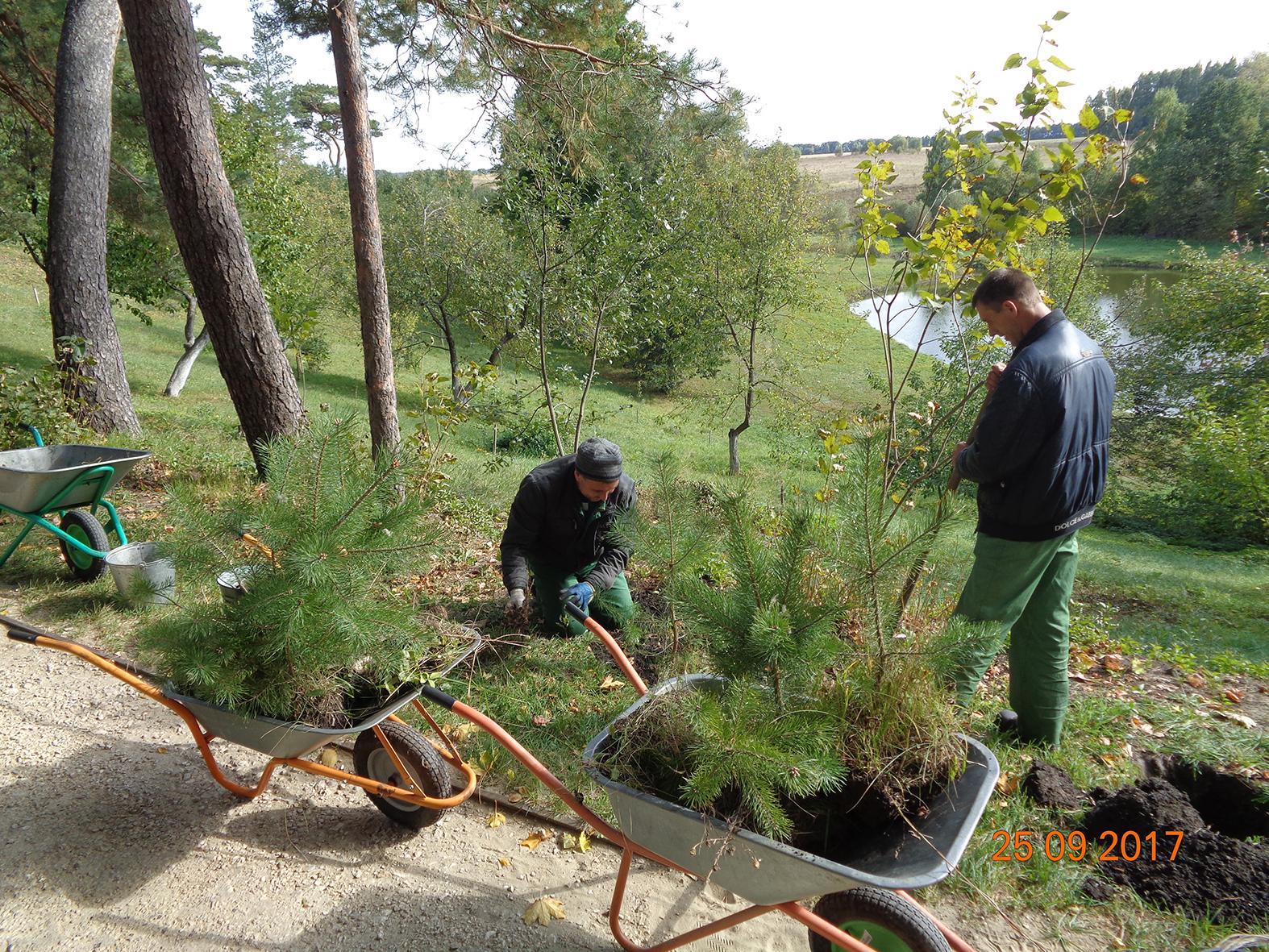 Восстановление сосновой аллеи в парке музея