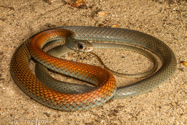 Yellow faced whip snake - Demansia psammophis