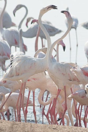 Greater Flamingo adults