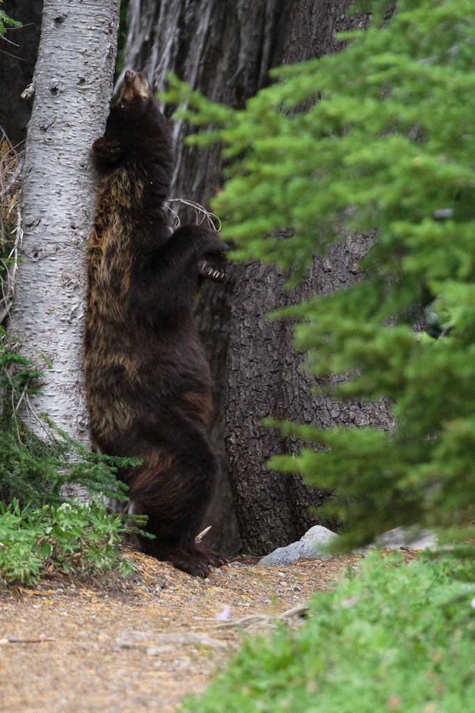 A black bear rubs its back on a tree while standing on its hind legs