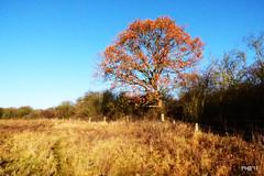 The Oak in Autumn