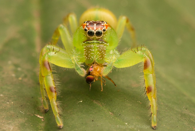 Green jumper with prey 1