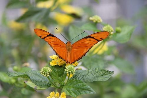 Julia butterfly.