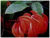 Mucuna bennettii (New Guinea Creeper, Scarlet Jade Vine, Red Jade Vine)