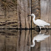 Little Egret - Widewater (010)