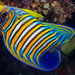 Regal Angelfish, young subadult - Pygoplites diacanthus
