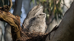 Tawny Frogmouth: Growing up like Dad