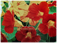 Beautiful orange and yellow flowers of Tropaeolum majus (Nasturtium, Garden Nasturtium, Indian Cress, Monks Cress), 22 Nov 2017