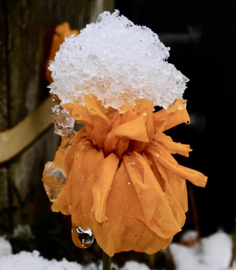 November Marigold