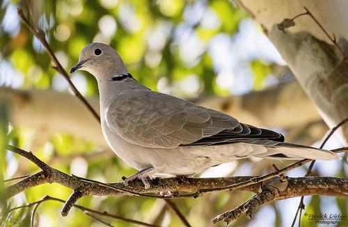 Eurasian Collared Dove (Explore)