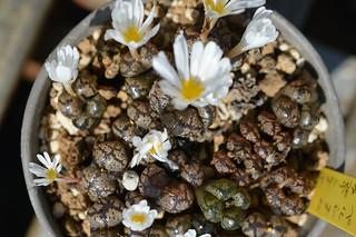 DSC_6563 Conophytum pellucidum S.W. Springbok コノフィツム ペルシダム