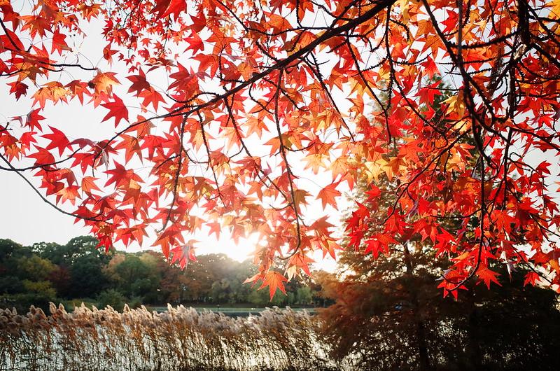 紅葉葉楓と薄