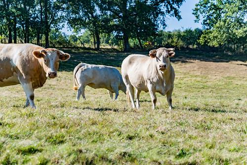 20-Les vaches sont curieuses