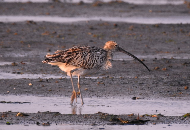 Curlew In Our Wadden Sea National Park