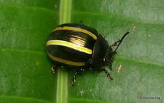 Leaf beetle, Chrysomelidae