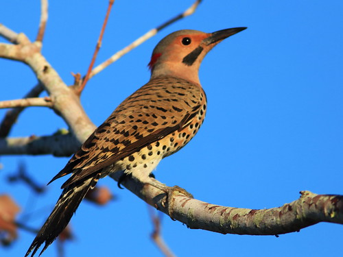 Northern Flicker 01-20171119