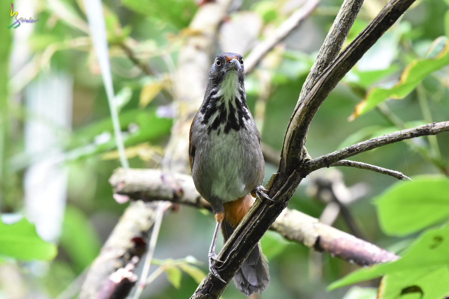 Rusty-cheeked_Scimitar-Babbler_0651