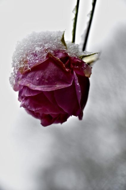 Iced rose.