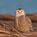 Snowy Owl by www.momentsinature.com