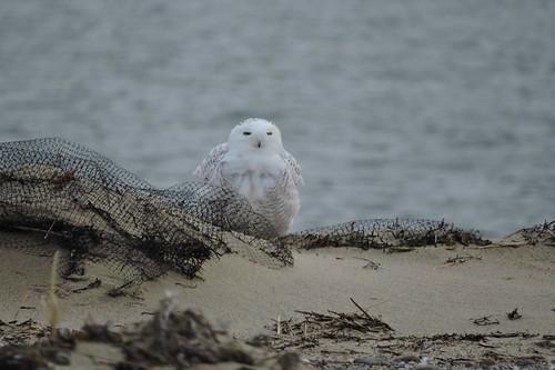 Snowy Owl #91