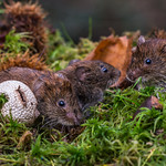 Wild Bank voles feeding on the coppice floor
