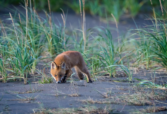 Red Fox Investigates