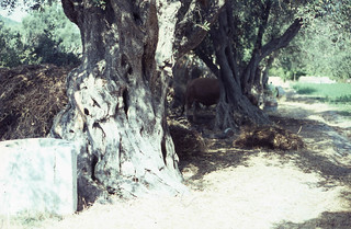 Old olive trunks and bull Triandra
