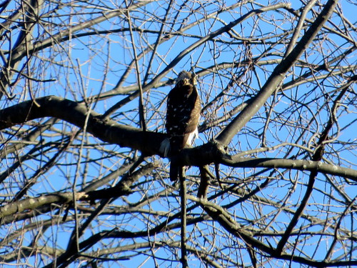 our neighborhood hawk