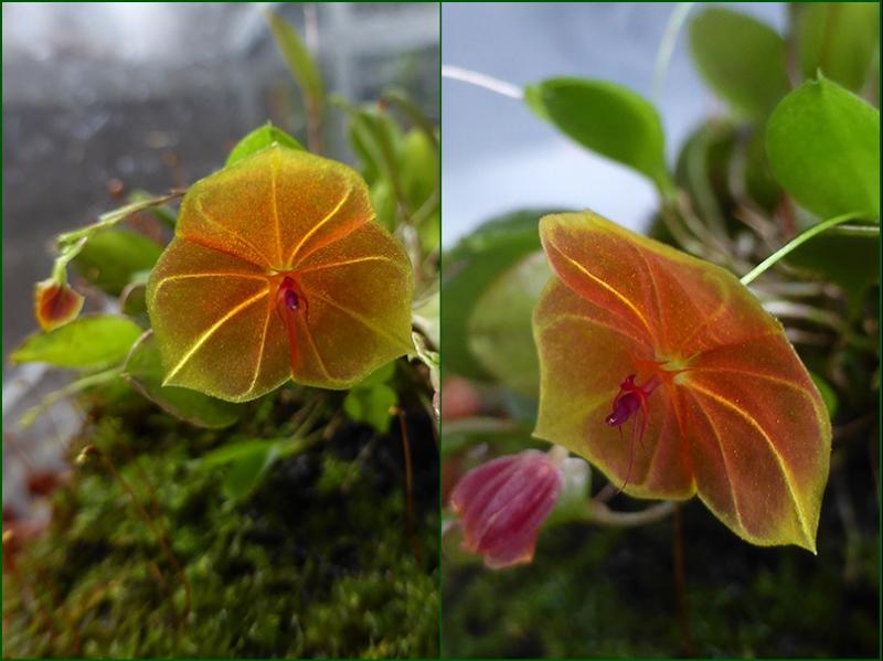 Miniatur-Orchideen Teil 4 26952060059_e0e54dd2bf_o