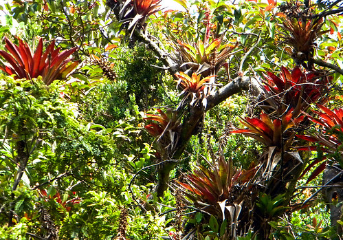 Bromeliads growing high on the trees in the Costa Rican jungle