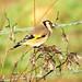 Carduelis carduelis Goldfinch