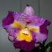 Cattleya Unknown [Fire #1] hybrid orchid 10-17
