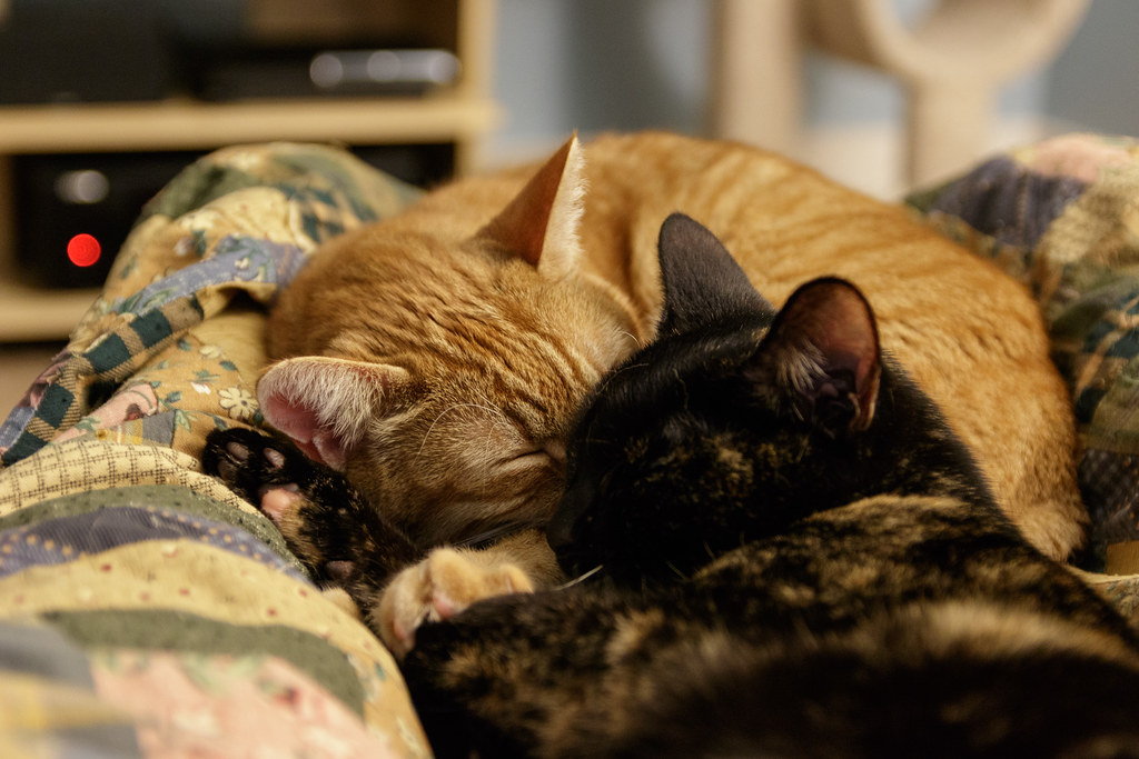 Our cats Sam and Trixie sleep cuddled up face-to-face while snuggling in my lap