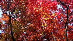 Maple 楓葉