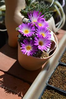 DSC_6239 Frithia pulchra フリチア 光玉