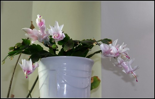 Schlumbergera - le genre - cactus de Noël - Page 7 38308938661_99d54a2d45