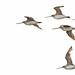 Bar-tailed Godwit 41