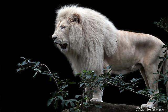 Afr. Witte Leeuw - 029092