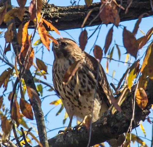 Neighborhood hawk