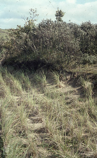 Meijendel dune erosion by path. Marram planted under sand cliff topped by Sallow and Oak 04/09/1965
